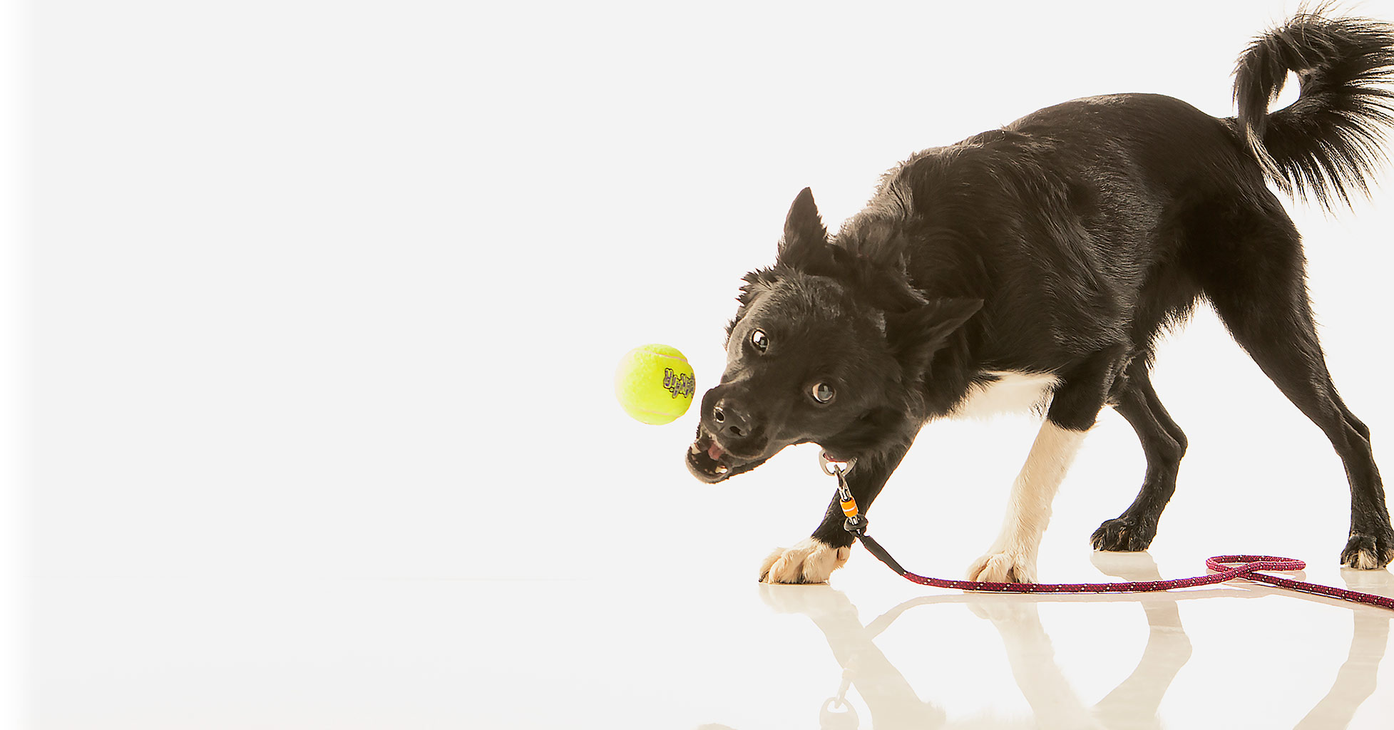 PetVet Products, dog chasing tennis ball